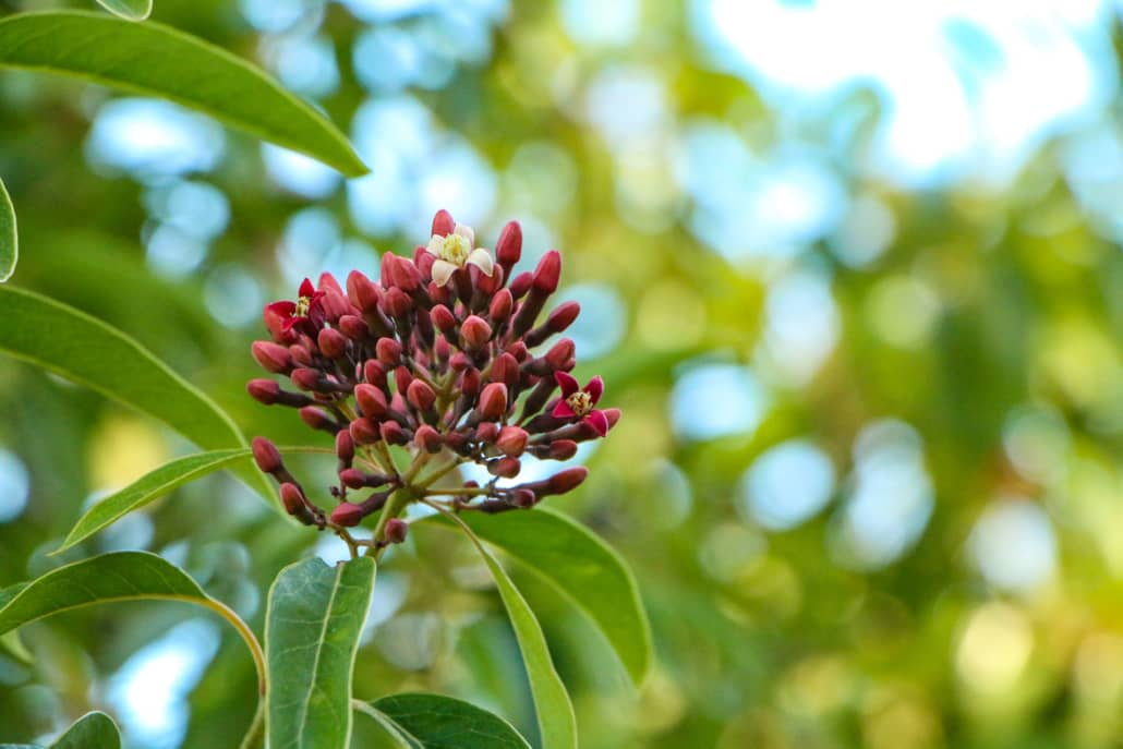 Sandalwood Blossom Haleakala