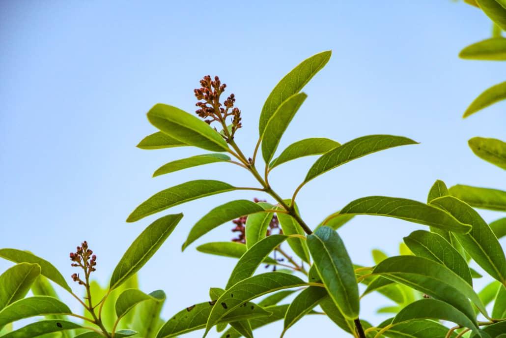 Sandalwood Tree Flowers and Leaves