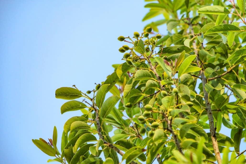 Sandalwood Tree seeds Haleakala