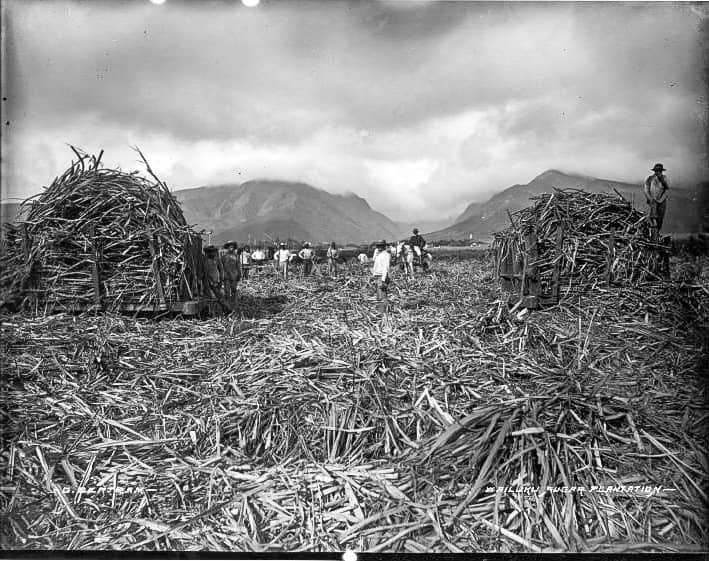 Wailuku Sugar Plantation workersinfield(), photograph by Brother Bertramlate's