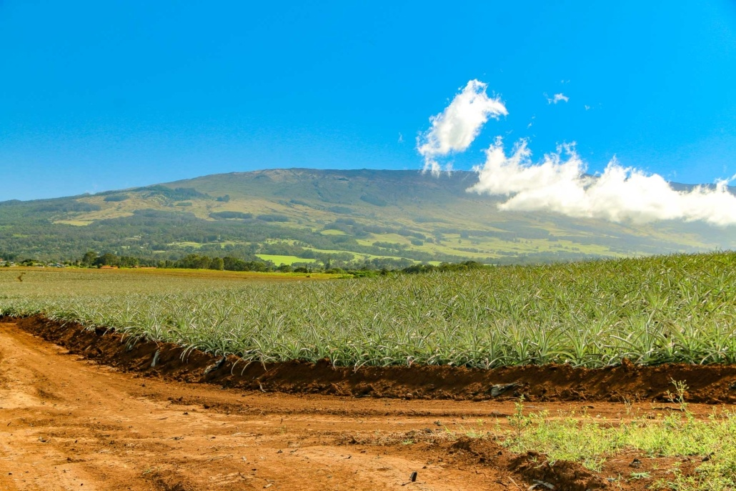 Maui Pineapple Field Hali'imaile
