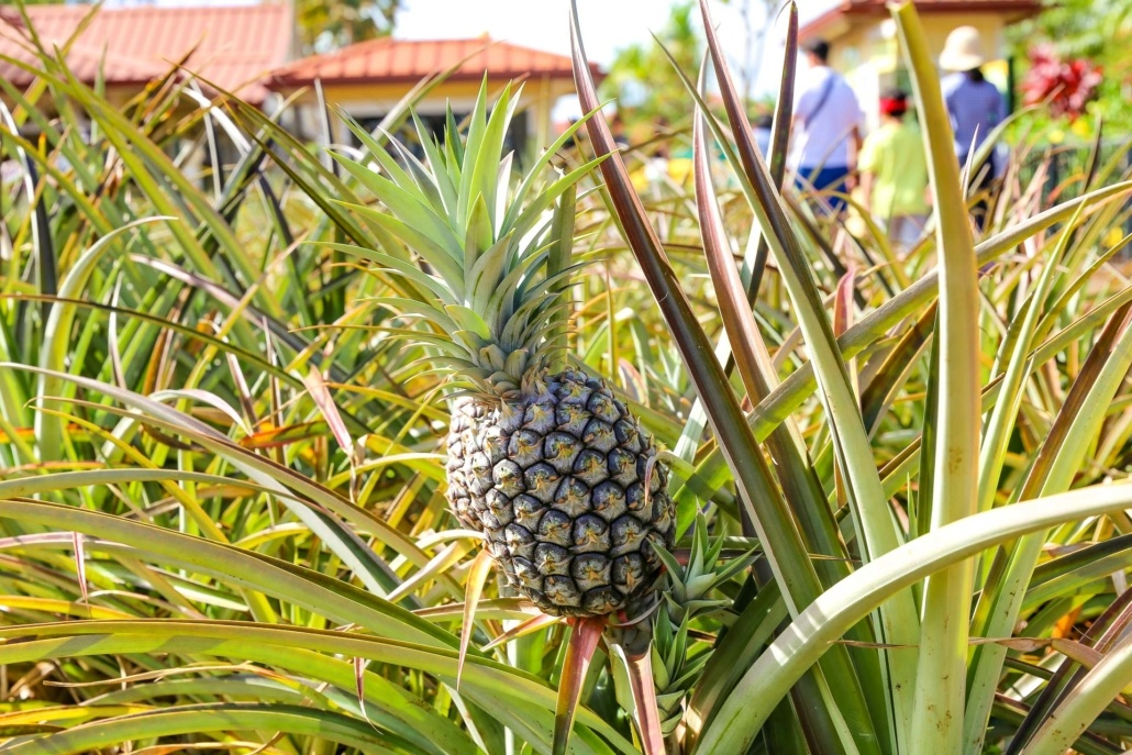 Microcephalus Pineapple Dole Plantation Oahu
