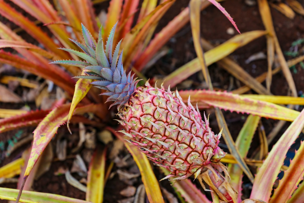 Criolla Pineapple