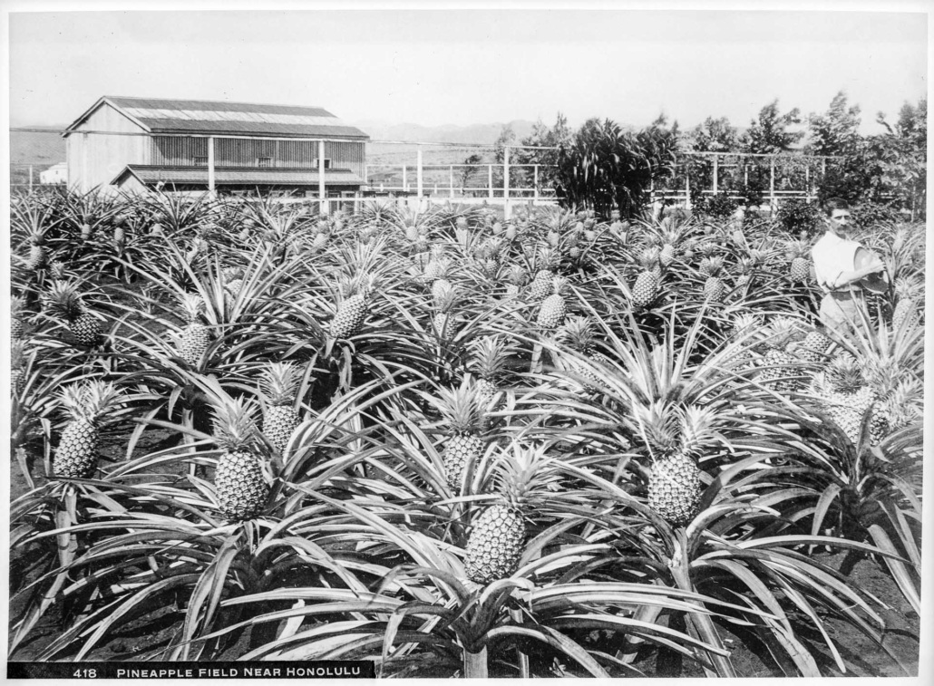 Pineapple Field Near Honolulu