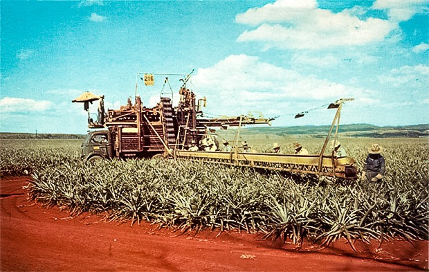 pineapple harvesting in Hawaii
