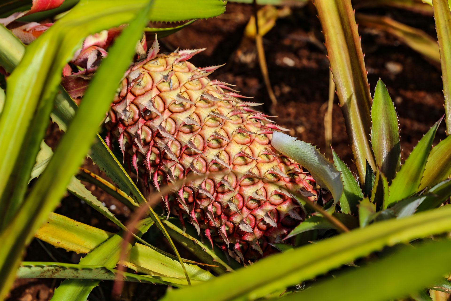 Wild Kailua Pineapple