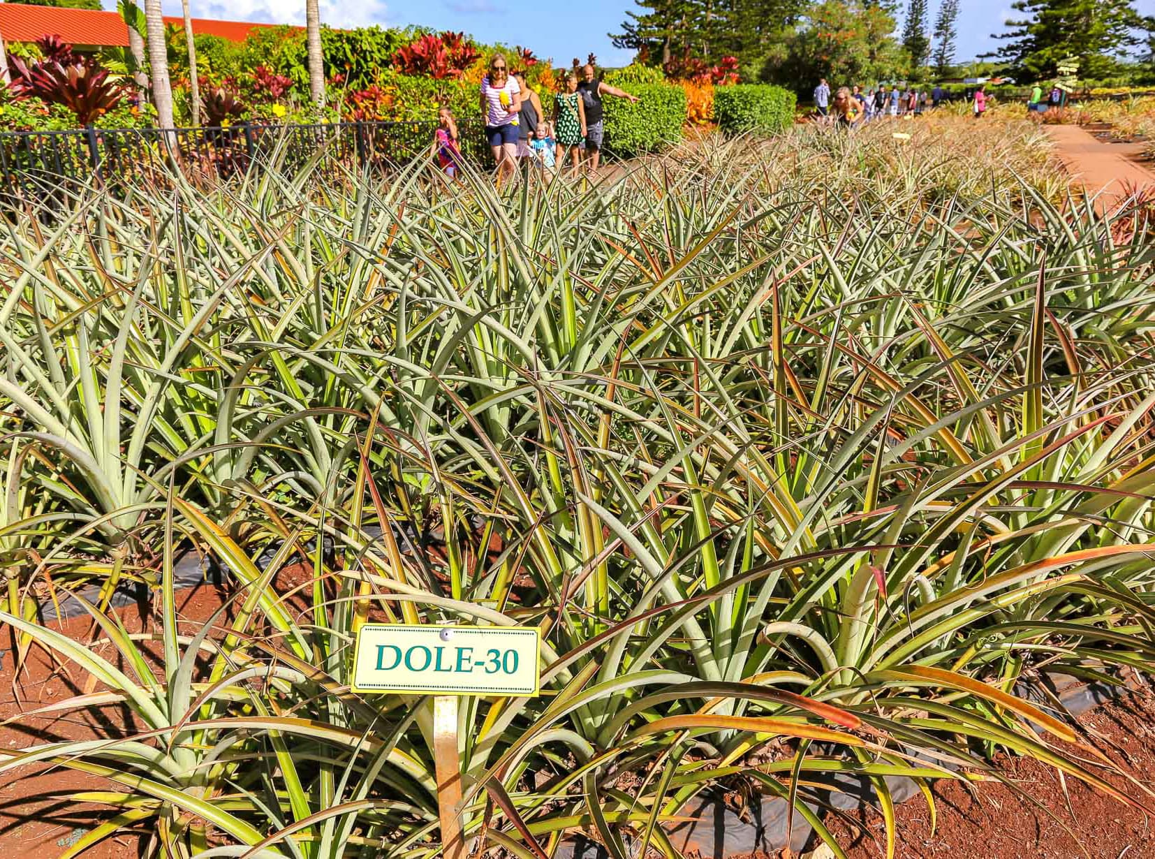 Dole Pineapple Field Sign