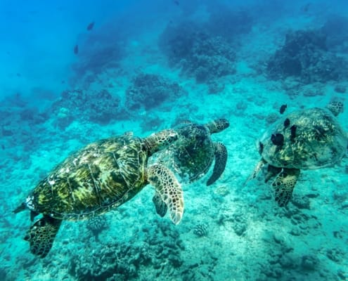 Hawaiian Green Sea Turtles Underwater shutterstock
