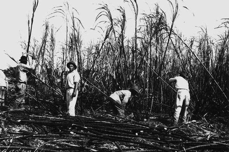 Sugarcane Workers in Hawaii 1880's