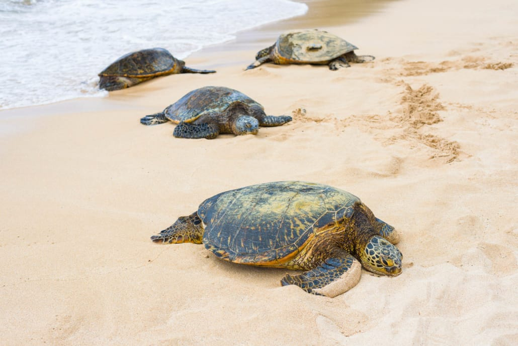 Turtles on Beach North Shore Oahu shutterstock