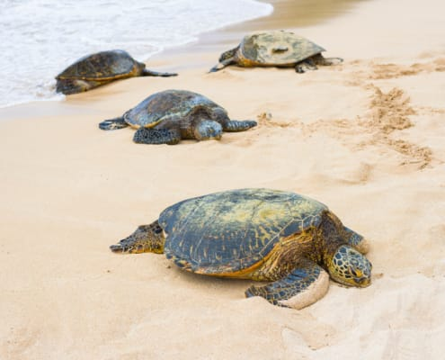 Turtles on Beach North Shore Oahu shutterstock