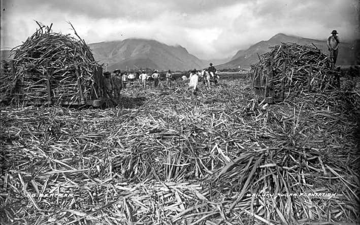 Wailuku Sugar Plantation workers in field photograph by Brother Bertram